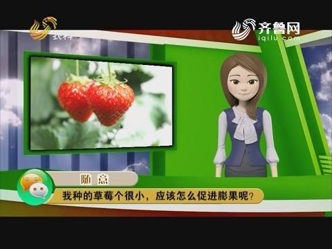 庄稼医院远程会诊:我种的草莓个很小,应该怎么促进膨果呢?