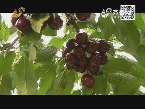 【永莲樱桃走中国】钻石樱桃 钻石身价