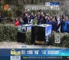 """四川:大熊猫""""映雪""""""""八喜""""成功放归自然"""
