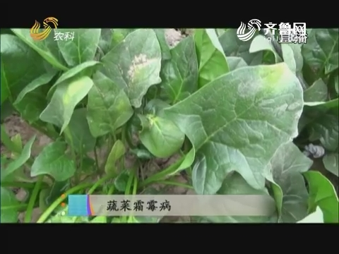 20171127《当前农事》:蔬菜霜霉病