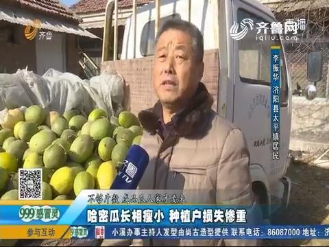 济阳:哈密瓜长相瘦小 种植户损失惨重