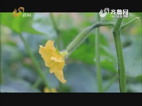 20171201《当前农事》:黄瓜管理