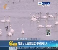 威海:大天鹅戏雪 美景更怡人