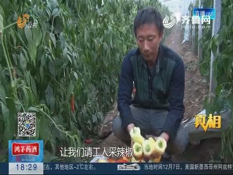 【真相】潍坊:白色辣椒卖给谁