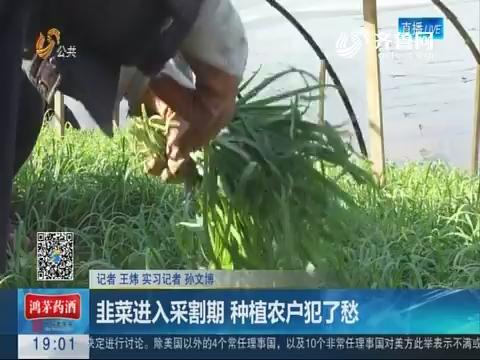 聊城:韭菜进入采割期 种植农户犯了愁