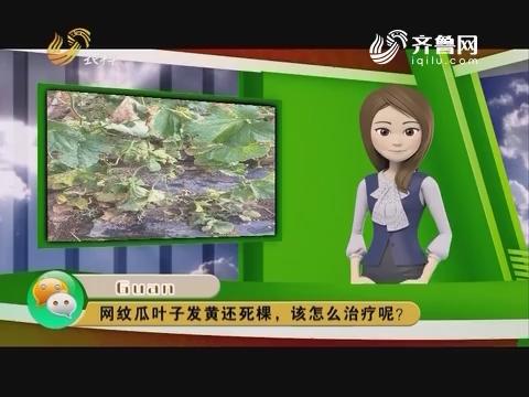 庄稼医院远程会诊:网纹瓜叶子发黄还死棵,该怎么治疗呢?
