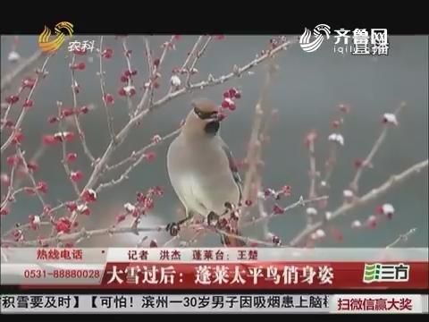 大雪过后:蓬莱太平鸟俏身姿