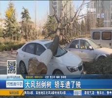 青岛:大风刮倒树 轿车遭了殃