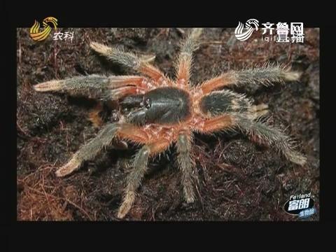 海南农业见闻(六):能入药的巨型蜘蛛