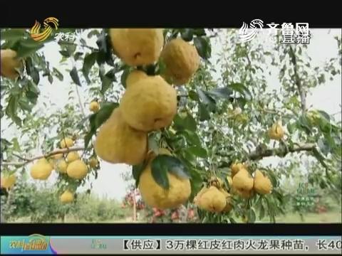 """20171227《农科直播间》:丑梨——贵在""""丑"""""""