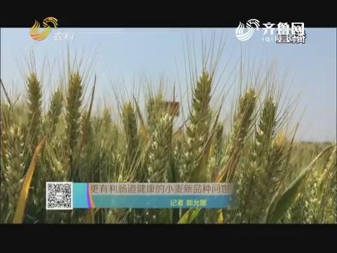 更有利肠道健康的小麦新品种问世