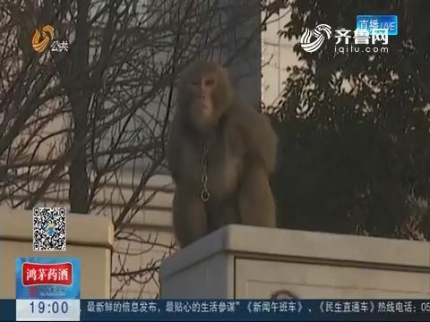 淄博:猕猴跑上街头