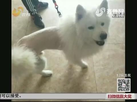 """【群众新闻】萨摩耶成网红 从济南""""打的""""来淄博"""