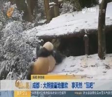 """成都:大熊猫雪地撒欢 享天然""""氧吧"""""""