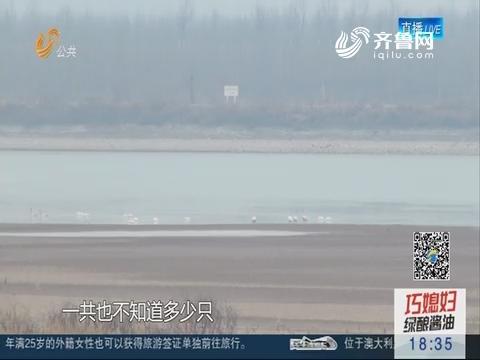 """济南:水面大面积结冰 如何留住""""挨饿""""的天鹅 ?"""
