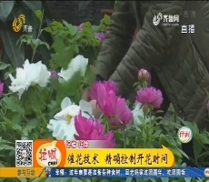 """【能工巧匠】菏泽:""""妙手催花"""" 400盆牡丹寒冬绽放"""