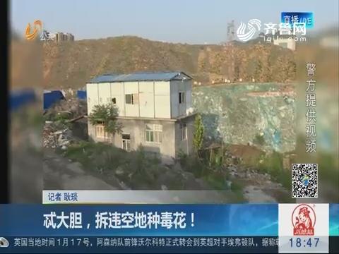济南:忒大胆,拆违空地种毒花!