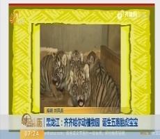 【闪电排行榜】黑龙江:齐齐哈尔动植物园 诞生五胞胎虎宝宝