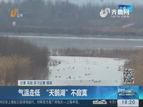 """济南:气温走低 """"天鹅湖""""不寂寞"""
