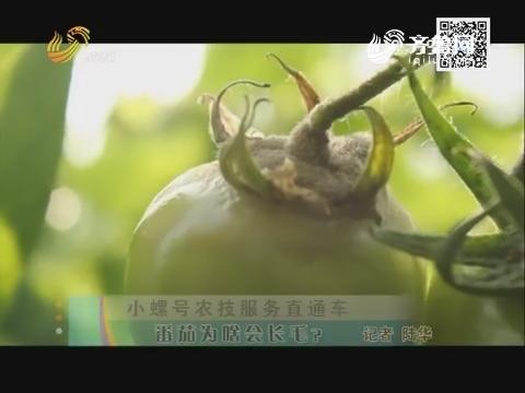 小螺号农技服务直通车 番茄为啥会长毛?
