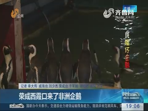 荣成西霞口来了非洲企鹅