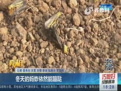 【真相】潍坊:冬天的蚂蚱依然能蹦跶