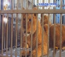 调查:马戏团运输动物案背后