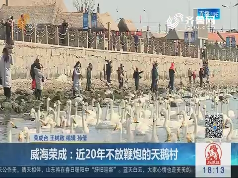 威海荣成:近20年不放鞭炮的天鹅村