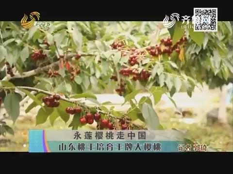 永莲樱桃走中国 山东桃王培育王牌大樱桃