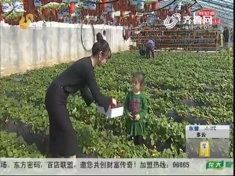"""烟台:春节近郊游 草莓采摘""""唱主角"""""""