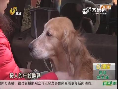 探访:一只特殊的金毛犬