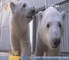 【闪电新闻排行榜】北极熊宝宝 撒娇过大年
