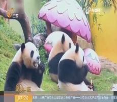 【闪电新闻排行榜】广州:熊猫三胞胎欢喜过春节 雪里撒欢萌翻天