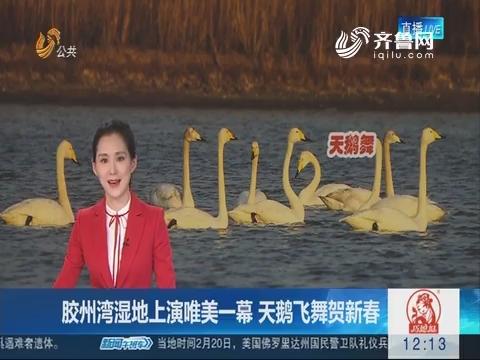 青岛:胶州湾湿地上演唯美一幕 天鹅飞舞贺新春