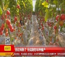 平原:西红柿熟了 无销路愁坏种植户