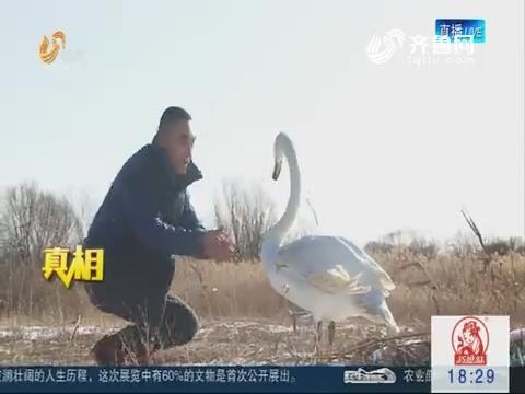 【真相】东营:堪比童话 驯养师和天鹅的故事