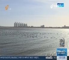 威海:大天鹅振翅返乡 将回西伯利亚等地