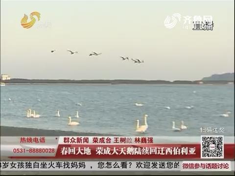 群众新闻:春回大地  荣成大天鹅陆续回迁西伯利亚