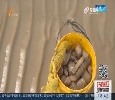 """青岛:滩涂上寻美味 揭开""""西施舌""""的真面目"""