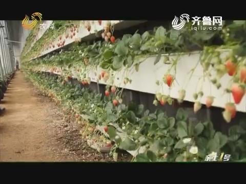 草莓种上墙
