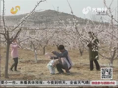 泗水:杏花开了