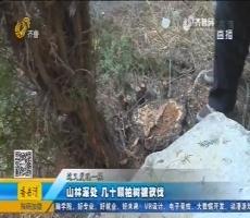 平阴:山林深处 几十颗柏树被砍伐