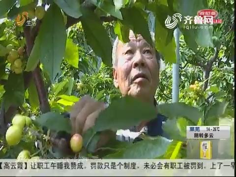 烟台:早春第一果 大樱桃泛红了