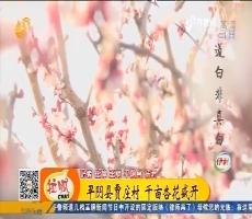齐鲁最美乡村:平阴县贾庄村 千亩杏花盛开