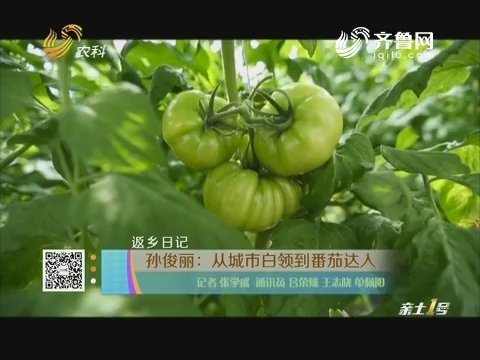 【返乡日记】孙俊丽:从城市白领到番茄达人