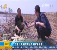 章丘:气温升高 藕池被征收 藕农急销售