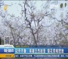【4G直播】花开齐鲁:英雄王杰故里 梨花竞相怒放