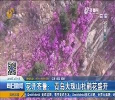 【4G直播】花开齐鲁:青岛大珠山杜鹃花盛开