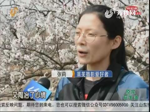 莱芜:漫山遍野 十里杏花俏绽枝头