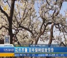商河:花开齐鲁 百年梨树绽放芳华